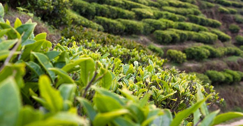 Cách pha trà Ôlong